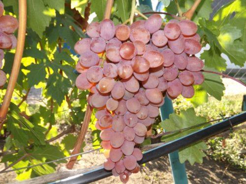 Крупная гроздь гибридного винограда сорта Румба с ягодами розового оттенка
