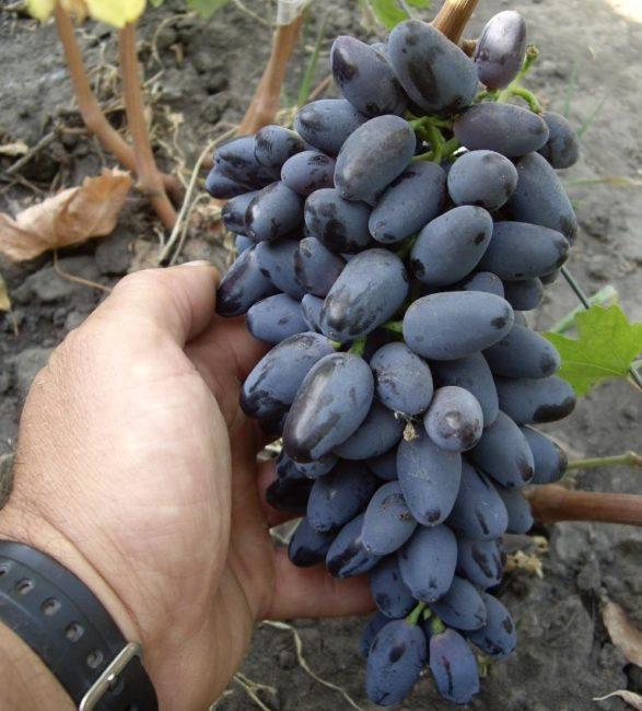 Первая сигнальная гроздь винограда Памяти Дженеева в руке садовода