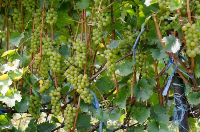 Куст винограда сорта бианка и грозди ягод в стадии технической спелости