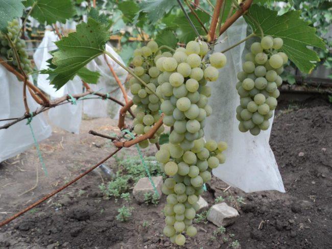Грозди винограда столово-технического предназначения сорта Бианка