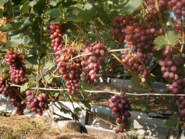 Виноградная лоза столового сорта Парижанка под нормированной нагрузкой