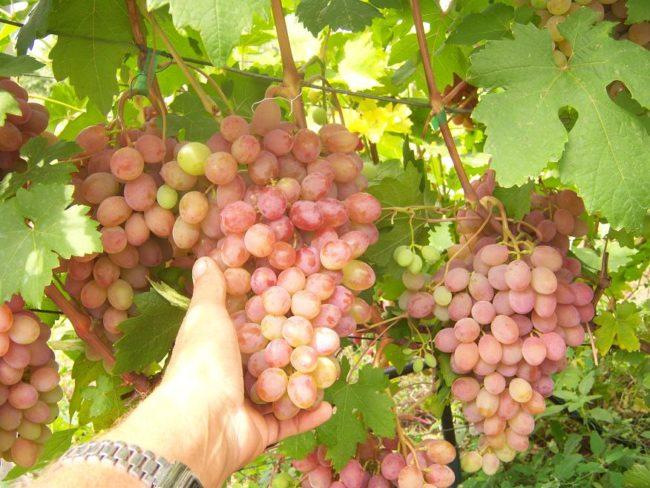 Крупные и красивые грозди гибридного винограда сорта Румба