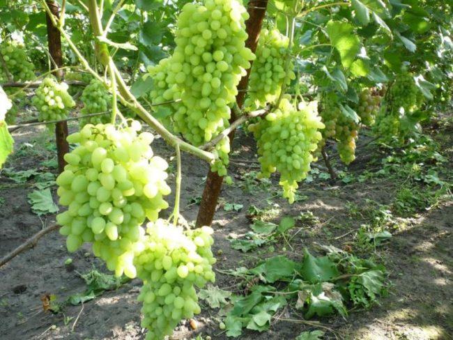 Крупные грозди гибридной формы винограда Зарница с ягодами светло-зеленого оттенка