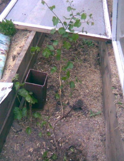 Молодой кустик винограда в глубокой траншее с деревянными стенками