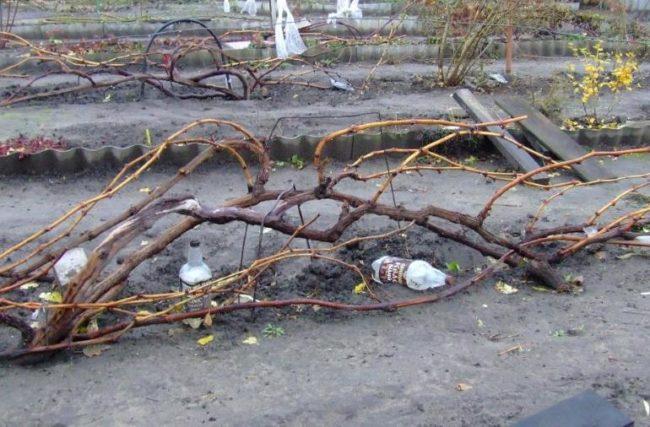 Пригнутая к поверхности земли виноградная лоза перед зимовкой