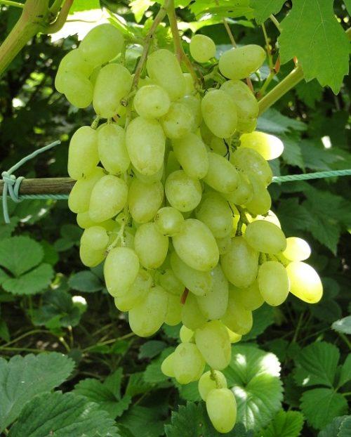Вытянутая гроздь гибридного винограда сорта Зарница селекции Крайного