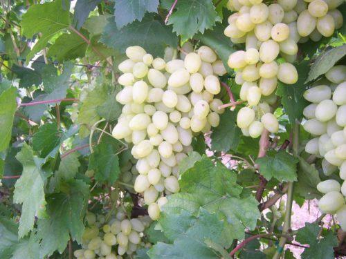 Кисти белого винограда столового сорта Зарница на трехлетнем кусту