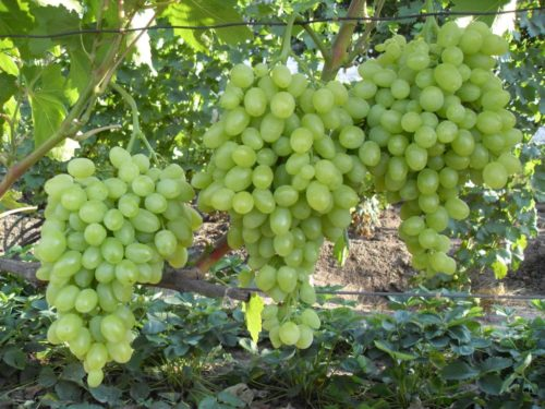 Виноградная лоза гибридной формы Зарница под нагрузкой