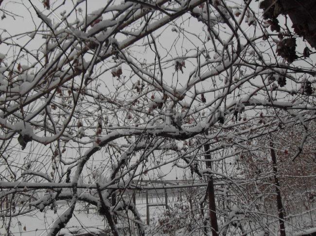 Белый снег на ветках столового винограда, растущих на арочной шпалере