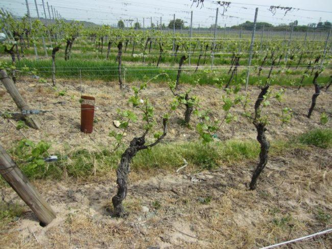Промышленный виноградник, специализирующийся на выращивании технических сортов