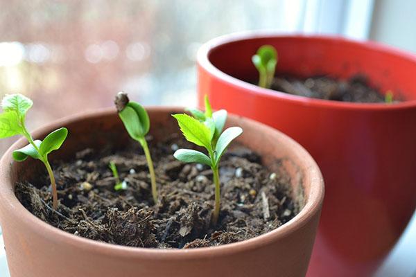 Коричневый горшок на подоконнике с молодыми зелеными ростками черешни