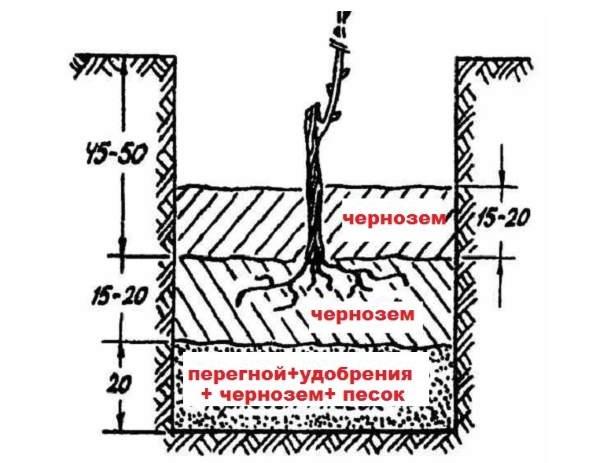 Схема стандартной посадочной ямы для саженца столового винограда