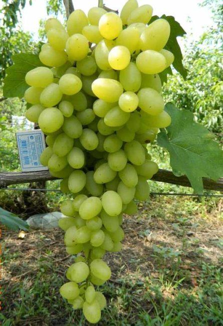 Крупная кисть столового винограда сорта Зарница с вытянутыми плодами желто-зеленого цвета
