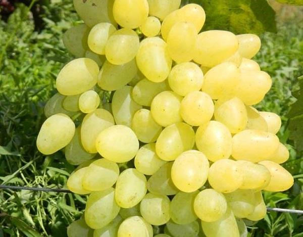Плоды гибридного винограда сорта Зарница крупным планом