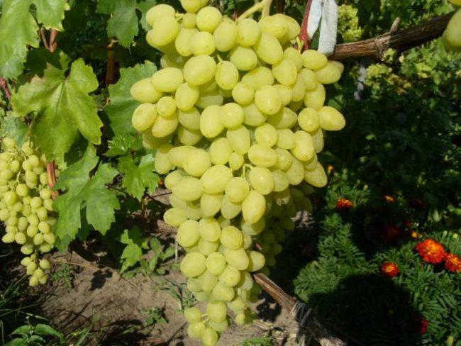 Увесистая кисть винограда сорта Зарница с плодами желто-зеленого цвета