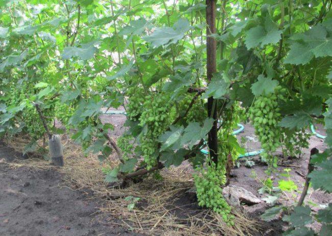 Куст столового винограда гибридного сорта Зарница любительской селекции