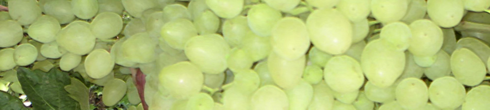 Виноград сорта Зарница спелые плоды