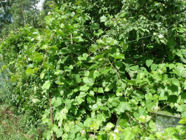 Запущенный куст винограда, требующий срочной вырезки лишних веток