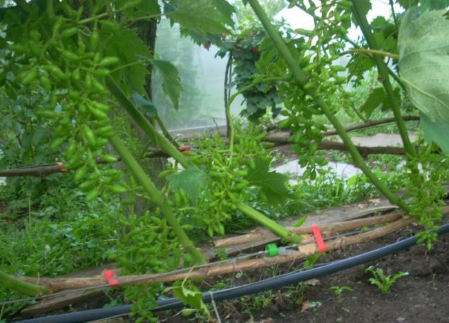 Завязи винограда на взрослом кусту гибридного сорта Голд Фингер