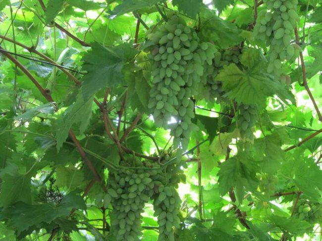 Виноградная лоза столового сорта Оригинал в период роста плодов