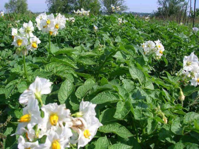 Листья и цветки на ботве картофеля столового сорта Чародейка российской селекции