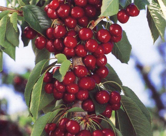 Ветка черешни сорта Лапинс, усыпанная большим количеством созревающих плодов