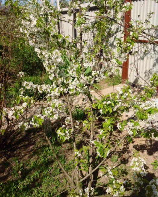 Молодой куст черешни сорта Теремошка в момент цветения на приусадебном участке Краснодарского Края