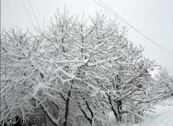Взрослые деревца черешни с усыпанными снегом ветками в Средней полосе России
