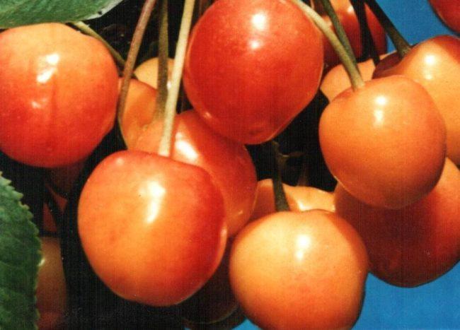 Спелые плоды черешни сорта Франц Иосиф крупным планом