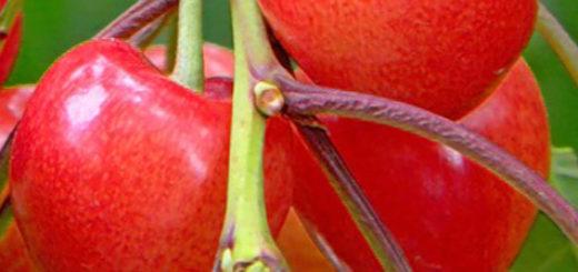 Черешня плодоносит красивая и спелая сорт Фатеж
