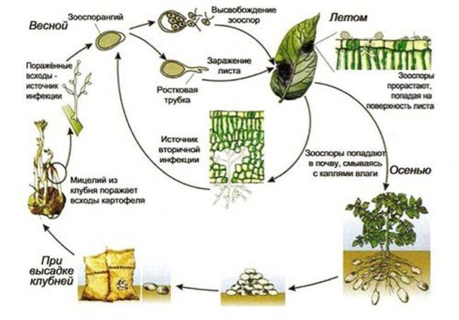 Схема развития фитофторы на картофеле в течении теплого сезона