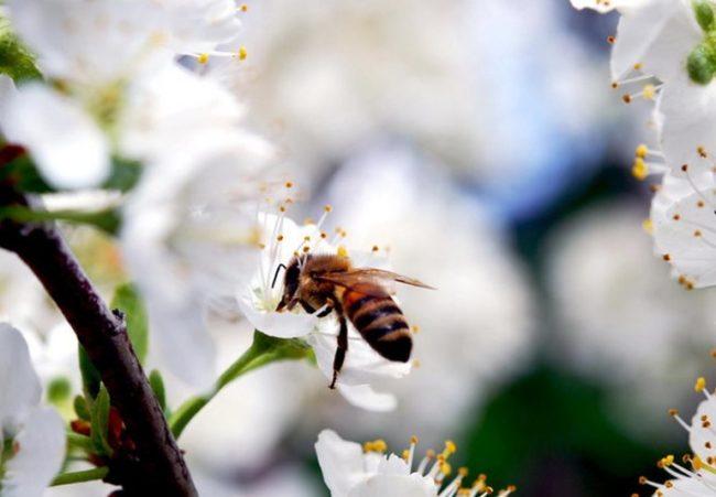 Пчела крупным планом на белом цветке черешни сорта Лапинс
