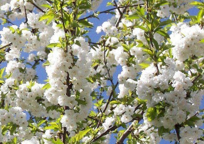 Ветки взрослого деревца садовой черешни с обилием раскрывшихся цветков белого окраса
