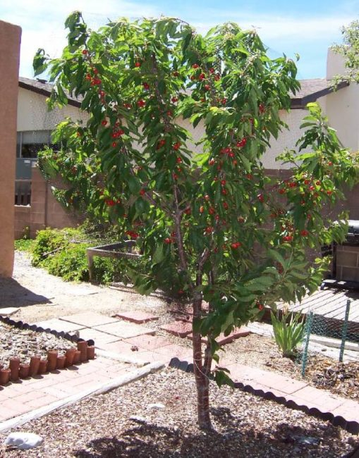 Деревце черешни гибридной формы Лапинс во дворе частного дома