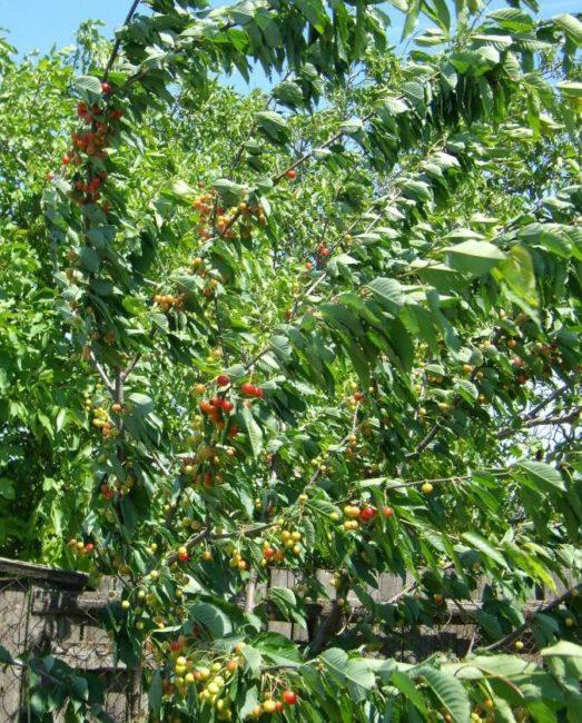 Длинные ветки сортовой черешни и созревающие ягоды на взрослом деревце