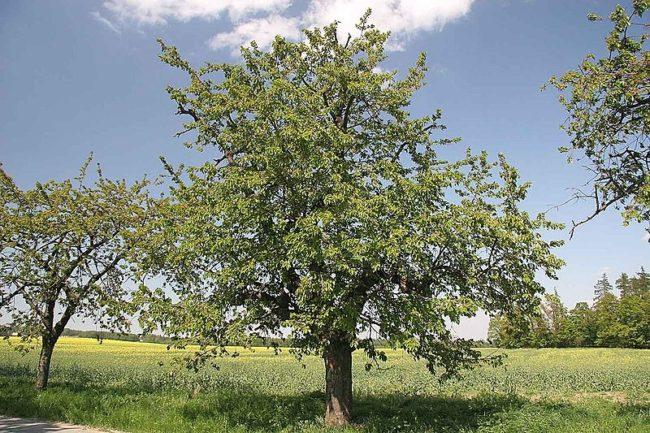 Крупное дерево одичавшей черешни высотой более шести метров на краю поля