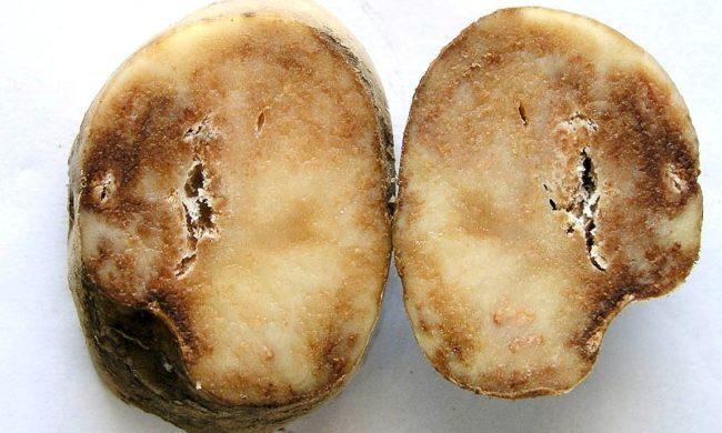 Коричневатые пятна на разрезе клубня картофеля, возникающие под действием патогенного грибка