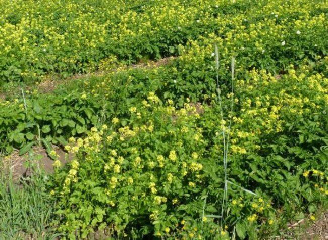 Цветущая горчица, выращиваемая на месте будущей посадки картофеля