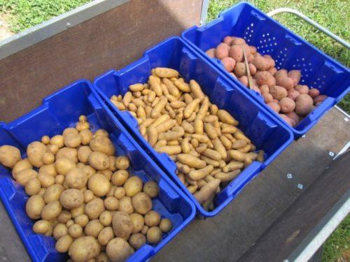 Отобранная для зимнего хранения картошка в пластиковых ящиках