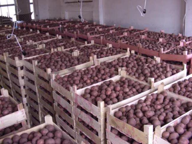 Деревянные ящики с урожаем картофеля на зимнем хранении в полуподвальном помещении
