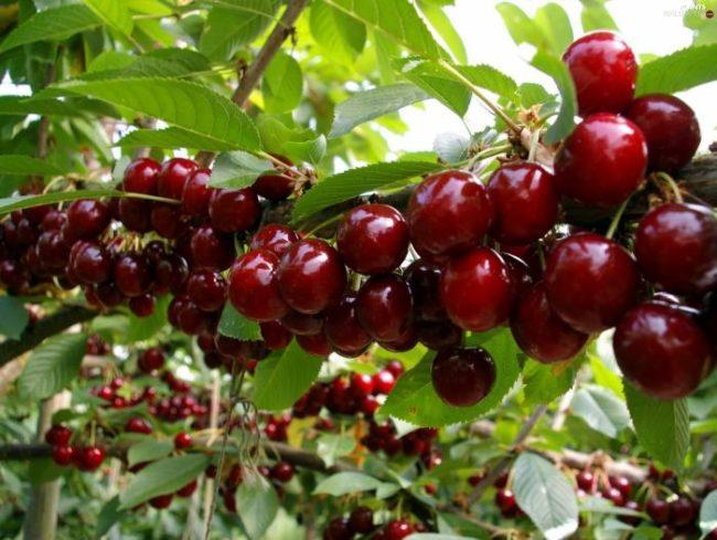 Ветка садовой черешни с плодами рубиново-красного цвета в период технической спелости