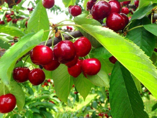 Спелые ягоды и зеленые листья сортовой черешни для Подмосковья