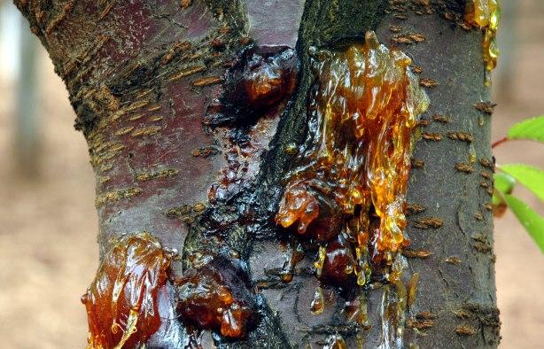 Крупная язва на стволе садовой черешни – признак заражения дерева гоммозом