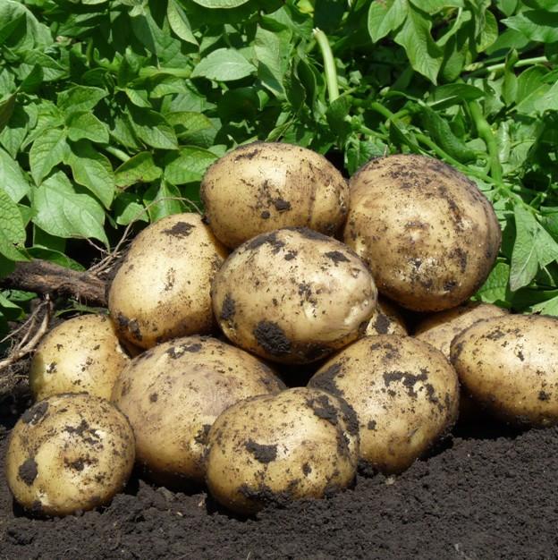 Клубни голландского сорта картофеля Коломбо, выкопанные с одного куста