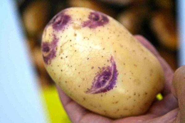 Картофелина популярного сорта Синеглазка крупным планом в руке огородника