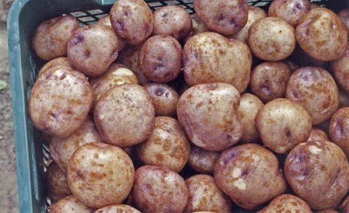 Пластиковый ящик с урожаем гибридного картофеля сорта Синеглазка