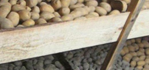 Хранение картошки на зиму в погребе