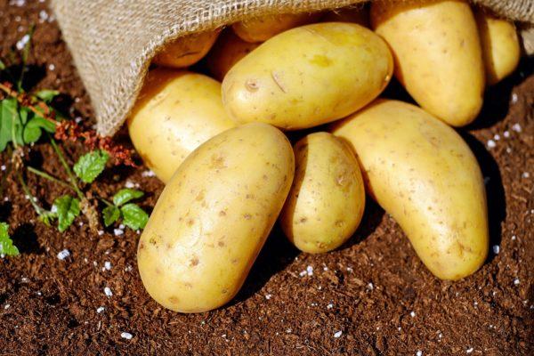 Несколько желтоватых клубней картофеля сорта Коломбо, выпавших из мешка