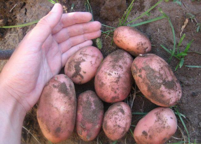 Выбор посадочного материала из клубней картофеля сорта Розара