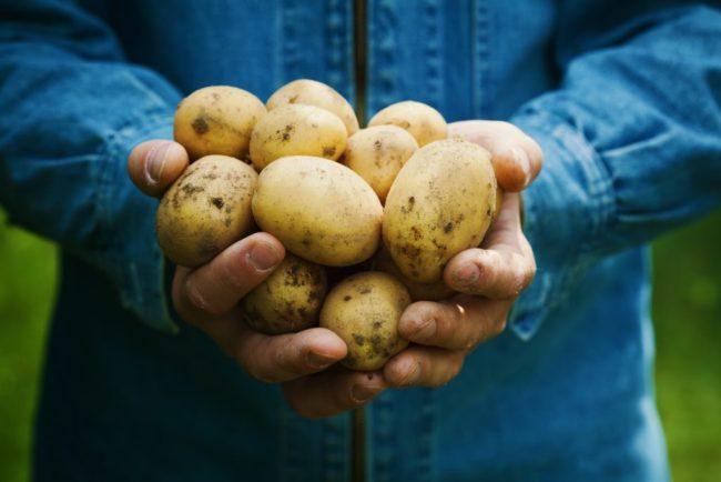 Горстка картофелин голландского сорта Коломбо в руках огородника